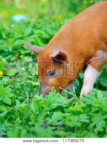 Young Red Pig On A Green Grass