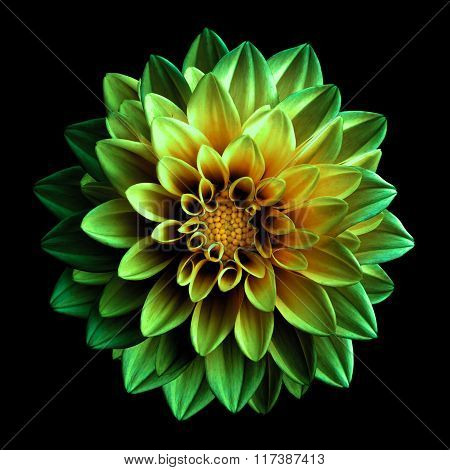 Surreal Dark Chrome Green And Yellow Flower Dahlia Macro Isolated On Black