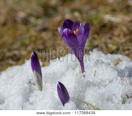 Violet Crocuses In Snow
