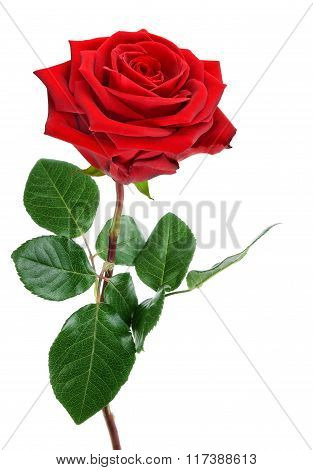 Fully blossomed perfect red rose with stem and leaves studio isolated on pure white background