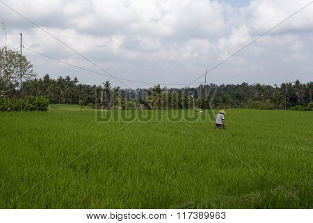 Farmer Working In A Rice Field Near Ubud, Indonesia