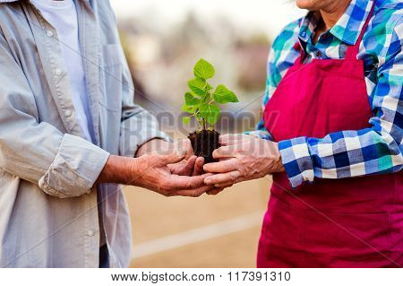 Close up of unrecognizable senior couple holding little seedling