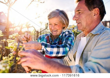 Close up. Senior couple pruning blooming tree in sunny garden
