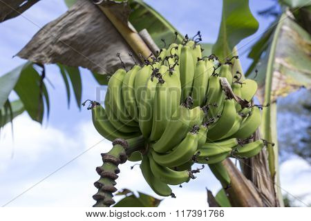 Banana On Tree