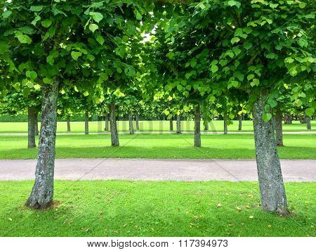 Alley Of Linden Trees In The Summer Park