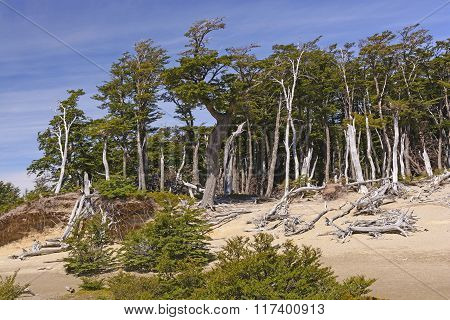 Windblown Beech Forest In The Patagonian Highlands