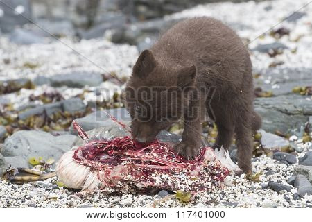 Puppy Commanders Blue Arctic Fox Who Eats Guillemot Near The Den