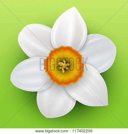 Flower narcissus, spring white flower, vector illustration.