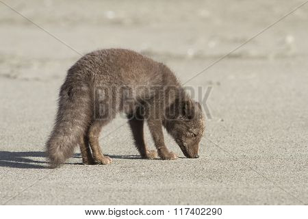 Young Commanders Blue Arctic Fox That Stands On The Beach Autumn Day