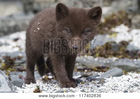 Commanders Blue Arctic Fox Puppy That Looks Directly Into The Lens Near The Den