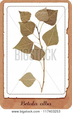 Dry Birch Branch Isolated