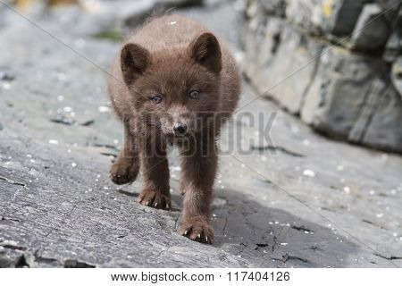 Puppy Commanders Blue Arctic Fox Who Steals The Stones Summer Day
