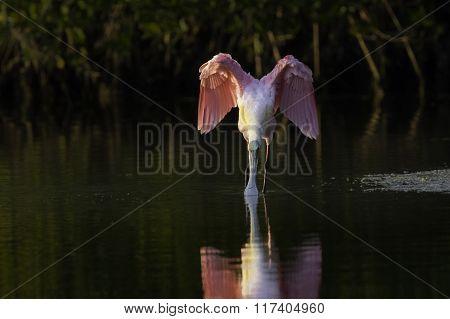 Roseate Spoonbill Drinking