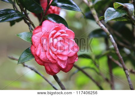 Red Camellia flowers with raindrop