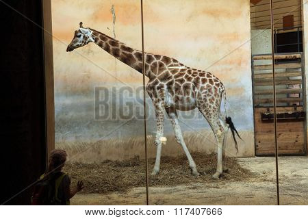 PRAGUE, CZECH REPUBLIC - JUNE 2, 2015: Visitor looks at the Rothschild's giraffe (Giraffa camelopardalis rothschildi) at Prague Zoo, Czech Republic.