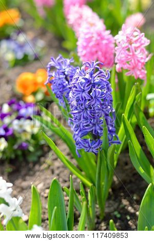 Colourful pink and blue hyacinth flowers close-up in the garden