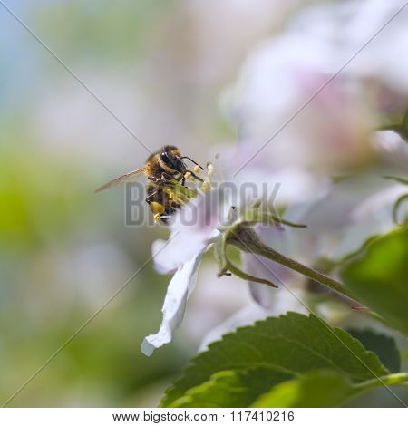 Bee On A Flower Apple Trees