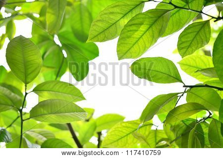 Young green leaves making a frame with white background