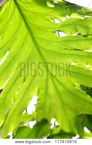 Green tropical plant leaf close-up against bright light