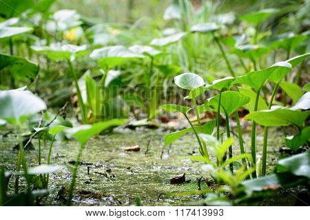 Lush green plants in a forest swamp. Rainforest ecosystem.