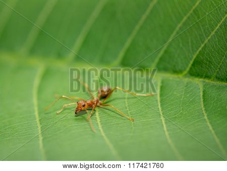 dangerous red ant in nature