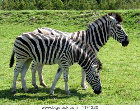 Zebrasbend