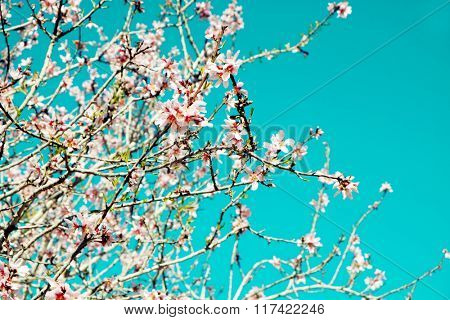 closeup of the branch of an almond tree in full bloom, with many nice pink flowers, against the blue sky, with a slight vignette added