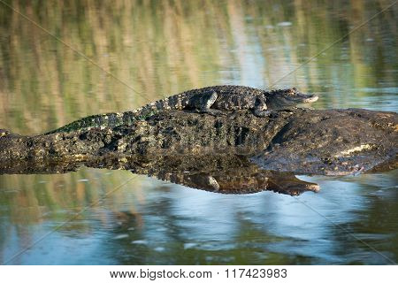 American Alligator Basking