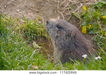 Marmot in it's hole