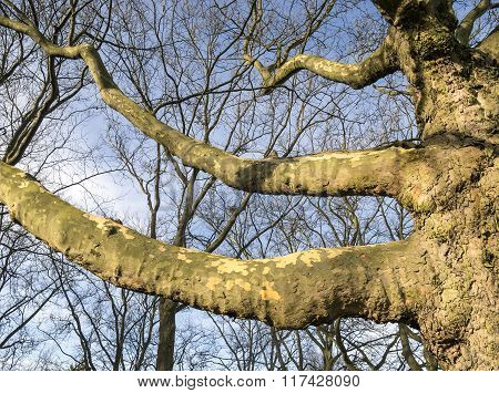 Leafless Plane Tree Branches
