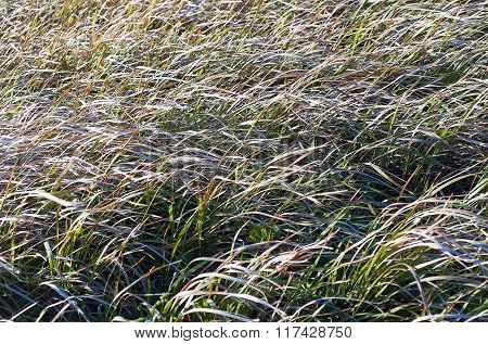 Wild Grass Swaying In The Breeze