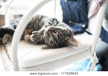 Playful Lazy Young Tabby Cat Lying On His Back On White Chair.