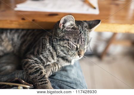 Young Tabby Cat Lying On Lap. Point Of View.