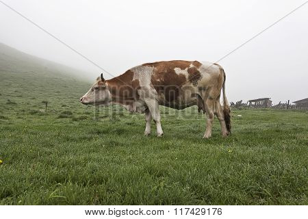 Cow On A Green Meadow 3