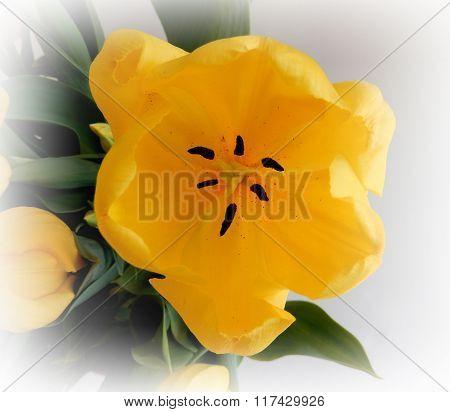 Closeup on yellow tulip