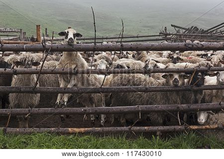 Sheep Behind Fence