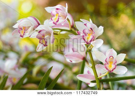 Beautiful White Cymbidium Flower Orchid Close Up In Garden.