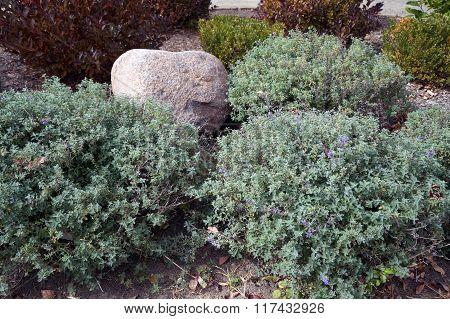 Dwarf Catmint Plants