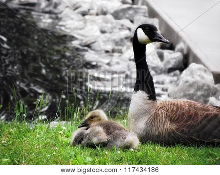 Mother Canadian Goose
