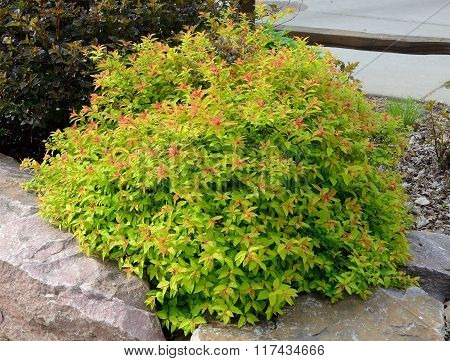 Goldflame Spirea Landscaping Shrub