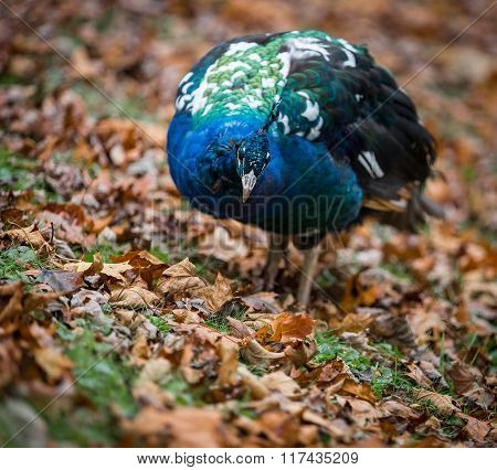 Peafowl In Leaves Searching For Food