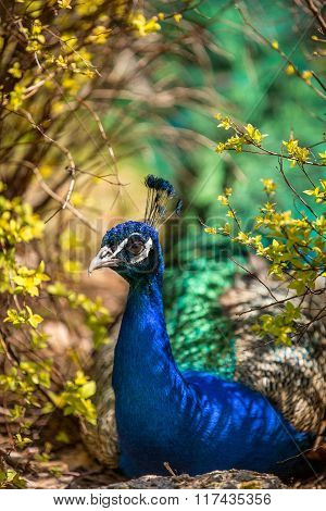 Peafowl Resting In The Shade Of Bushes