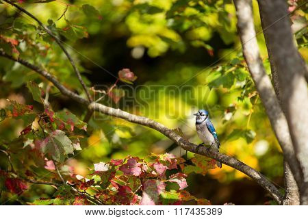 Common Blue Jay Perched On A Tree Branch