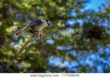 Small Grey Jay Perched On A Tree.