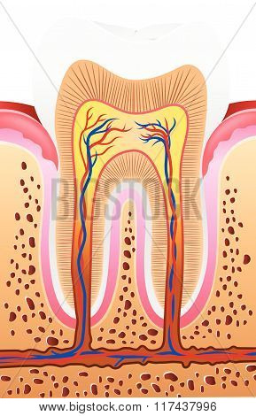 Illustration of Human Tooth Anatomy