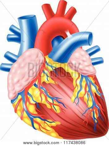 Illustration of Human Hearth Anatomy
