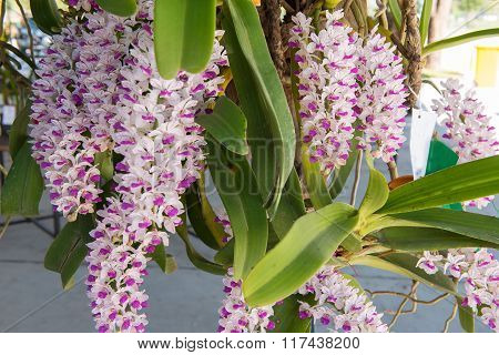 Beautiful white and pink orchids flower tree.