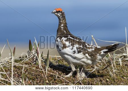 Male Rock Ptarmigan In Spring Outfit That Stands In The Tundra