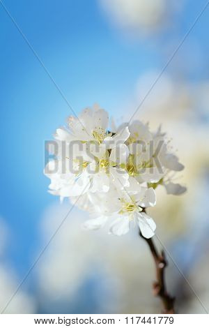 White Chinese Plum Flowers