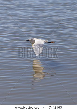 Great egret bird, Ardea alba, flies